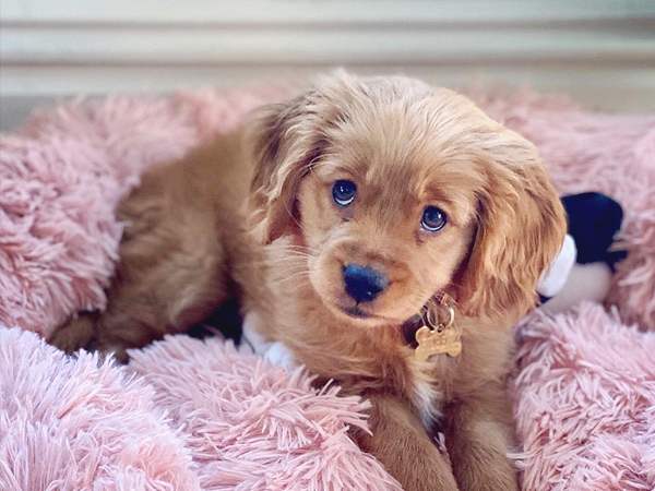 Washington Mini Goldens Eva Puppy